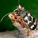 Longhorn flower Beetle - Judolia montivagans