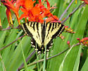 Western Tiger Swallowtail for Washington - Papilio rutulus - male