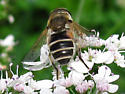 Syrphid (Hover) Fly on Cilantro - Eristalis arbustorum