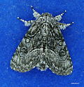 Grey Fuzzy Moth 1 - Raphia frater