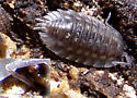 Isopod - Oniscus asellus