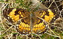 butterfly on lawn - Chlosyne nycteis - female