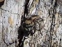Female Jumping Spider - Habronattus calcaratus