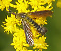 A fly I first thought was a moth - Lepidophora lutea