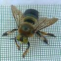 Southern Carpenter Bee ??? - Xylocopa micans - male