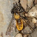 Robber Fly - Laphria