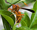 red wasp - Polistes