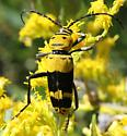 Goldenrod Soldier Beetle-looking bug - some were orange and some were yellow - Megacyllene decora