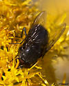 Fly on Ericameria - Calliphora
