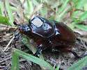 In the Country Beetle - Strategus aloeus