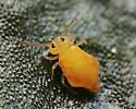 Orange Globular Springtail - Bourletiella arvalis