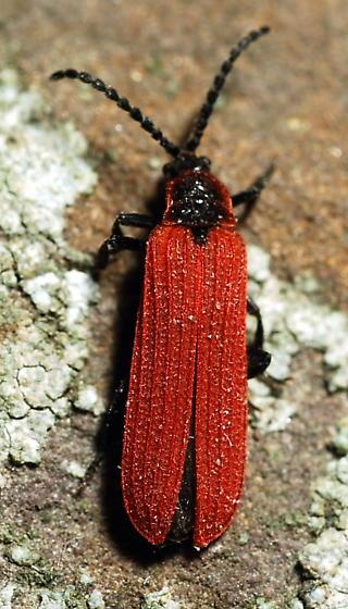 Dictyopterus aurora - Dictyoptera aurora