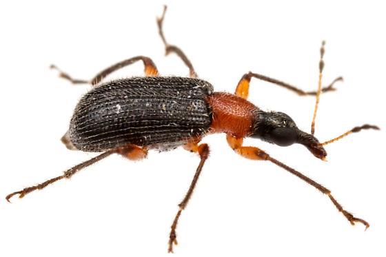 Eugnamptus punctatus? - Eugnamptus punctatus