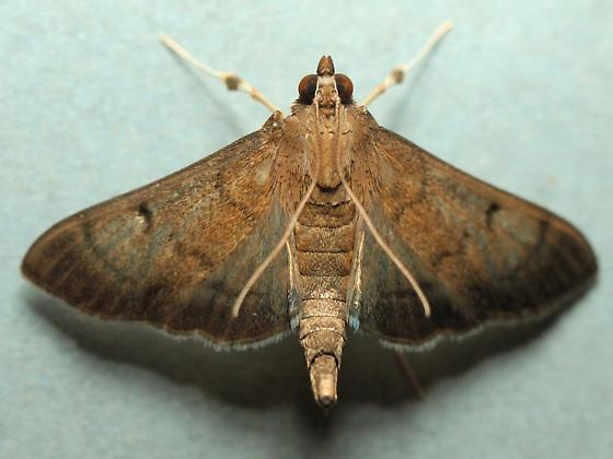 Another Unknown Moth - Omiodes indicata