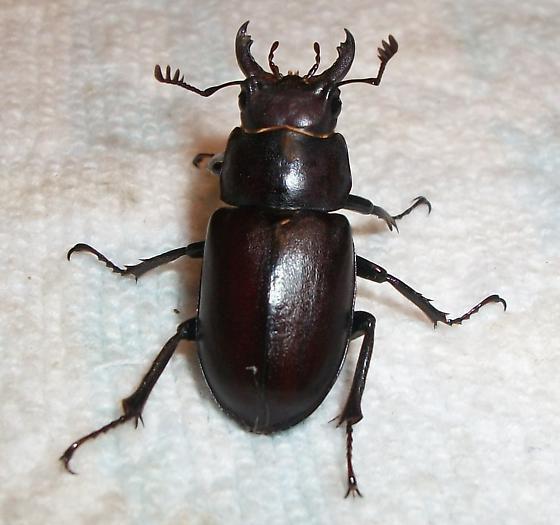 Stag Beetle? - Lucanus placidus - male