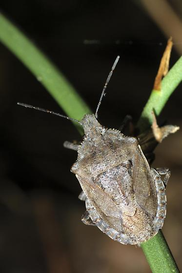 Stink Bug - Brochymena carolinensis