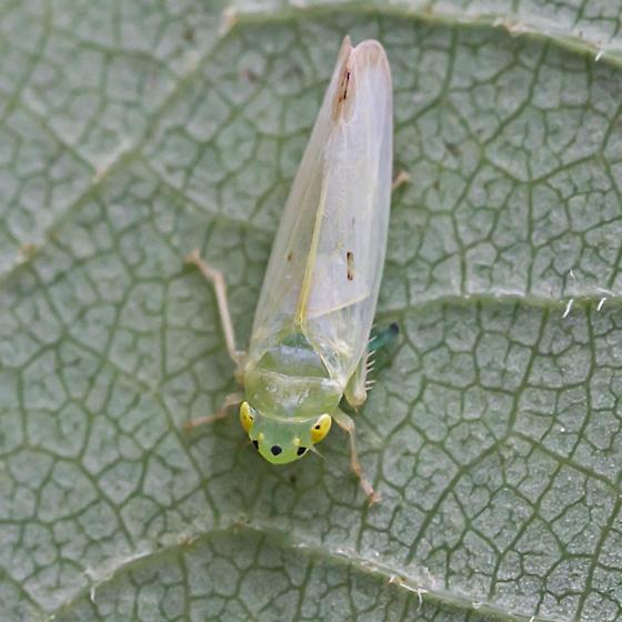 leafhopper - Pagaronia minor