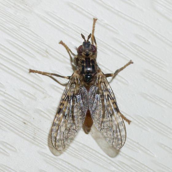Mottled-winged fly - Sphecomyiella valida