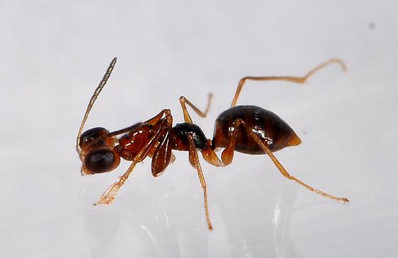 Dryinidae - female