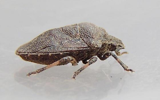 Stink Bug - Amaurochrous cinctipes