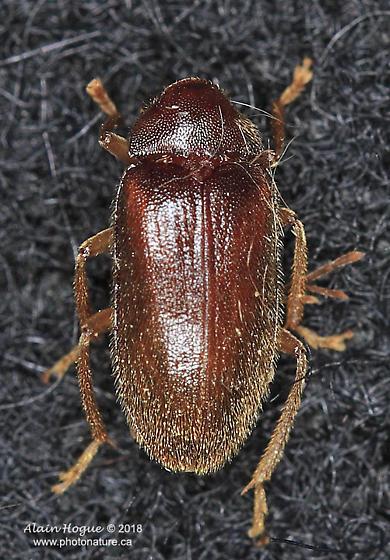 coleoptera - Ptilodactyla