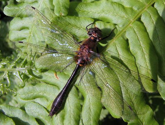 Dorocordulia libera - female