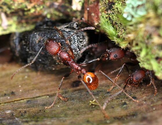 Ant - Aphaenogaster lamellidens