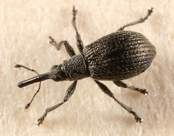weevil - Betulapion simile