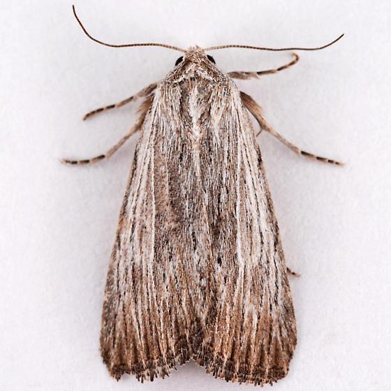 Catabena lineolata ? - Catabena lineolata