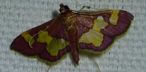 Colomychus talis Distinguished Colymychus Moth - Colomychus talis