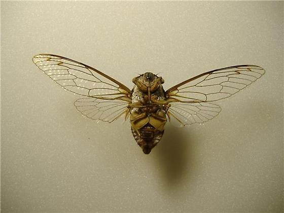 Diceroprocta biconica - male