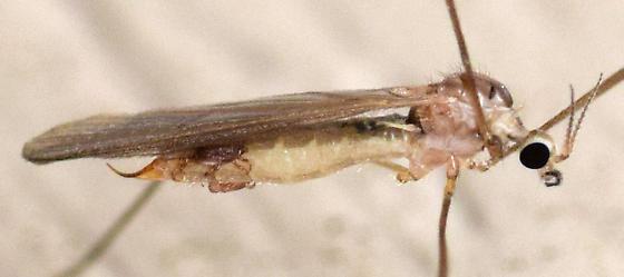 phoretic mites - Cheiroseius