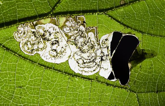 Unidentified leaf miner - Antispila hydrangaeella