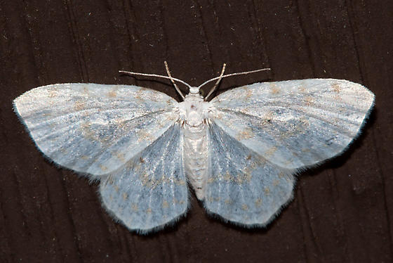 7423, Hydrelia albifera, Fragile White Carpet - Hydrelia albifera