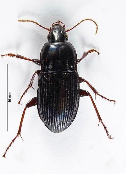 Pterostichitae? - Pterostichus