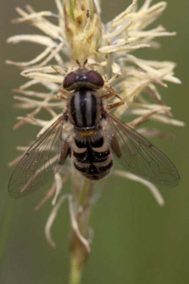 Syrphidae - Lejops