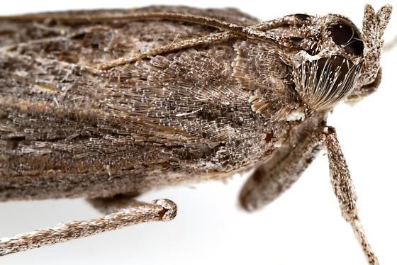 Phycitini? - Cactobrosis fernaldialis