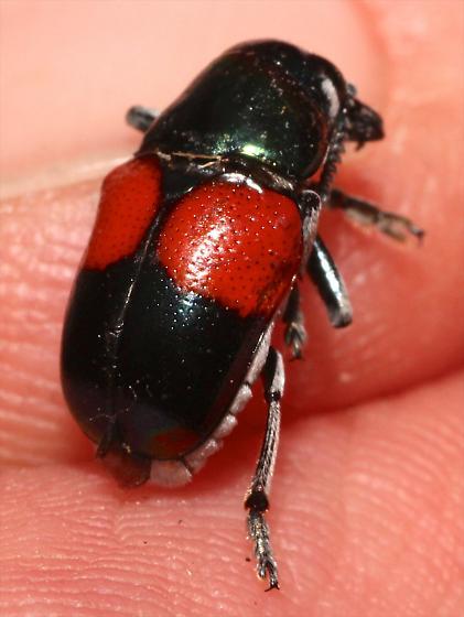Red and Black Leaf Beetle - Megalostomis pyropyga