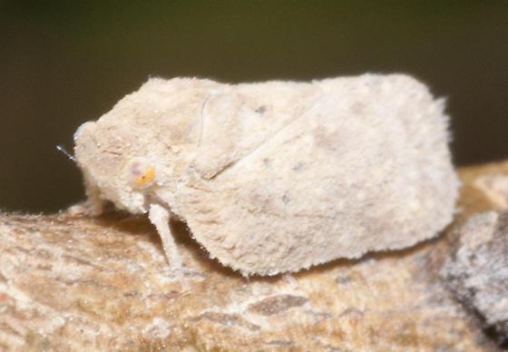 Family Flatidae ? - Melormenis basalis