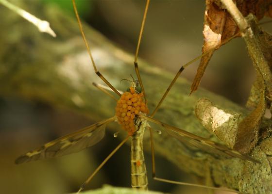 Crane Fly (Epiphragma solatrix) - Calyptostoma