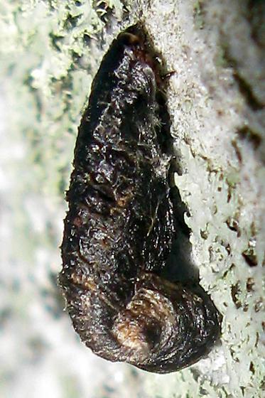 Pistol Casebearer caterpillar - Coleophora
