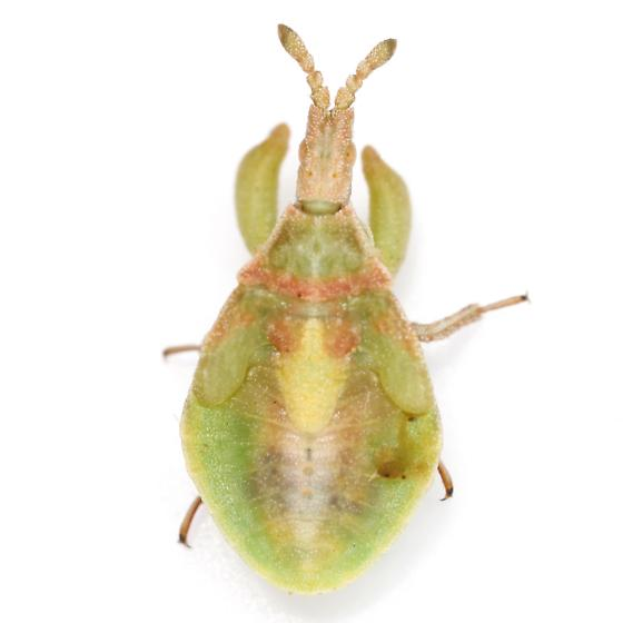 Lophoscutus