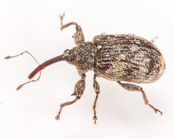 Weevil - Anthonomus nebulosus