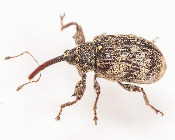 Weevil - Anthonomus nebulosus