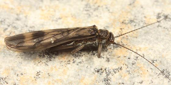stonefly - Prostoia completa