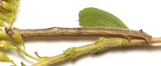 Geometridae, larva, lateral - Anavitrinella pampinaria