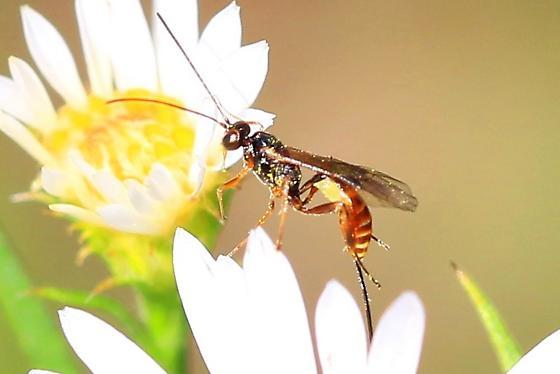 ichneumon wasp - Pristomerus