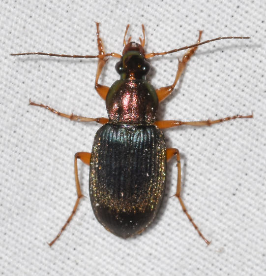 beetle070419-7 - Chlaenius tricolor
