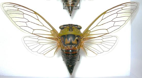 Tibicen pronotalis (syn. T. walkeri) - Megatibicen pronotalis - female