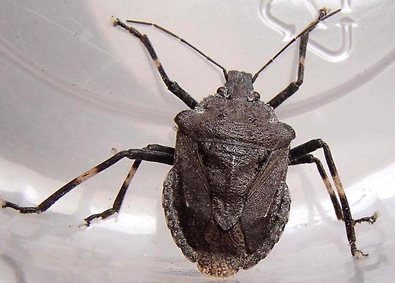 Stink bug - Brochymena punctata